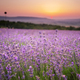 Meadow of lavender. - PhotoDune Item for Sale