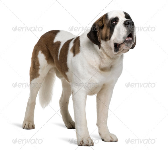 Saint Bernard, 4 years old, standing in front of white background - Stock Photo - Images