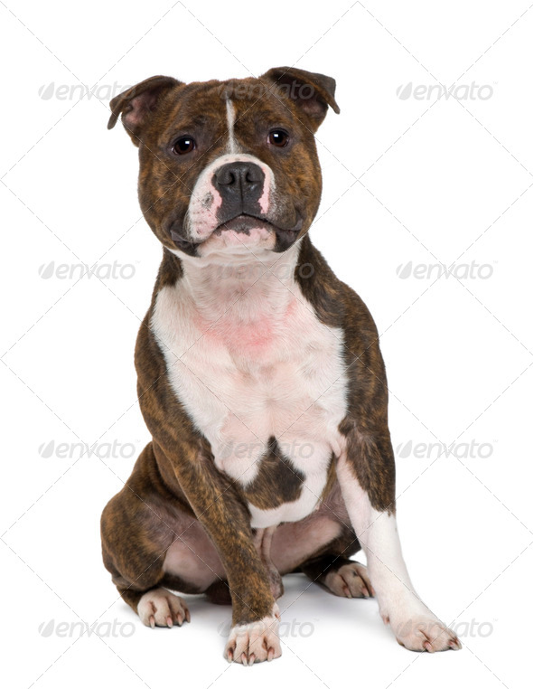 Staffordshire bull terrier sitting in front of white background - Stock Photo - Images