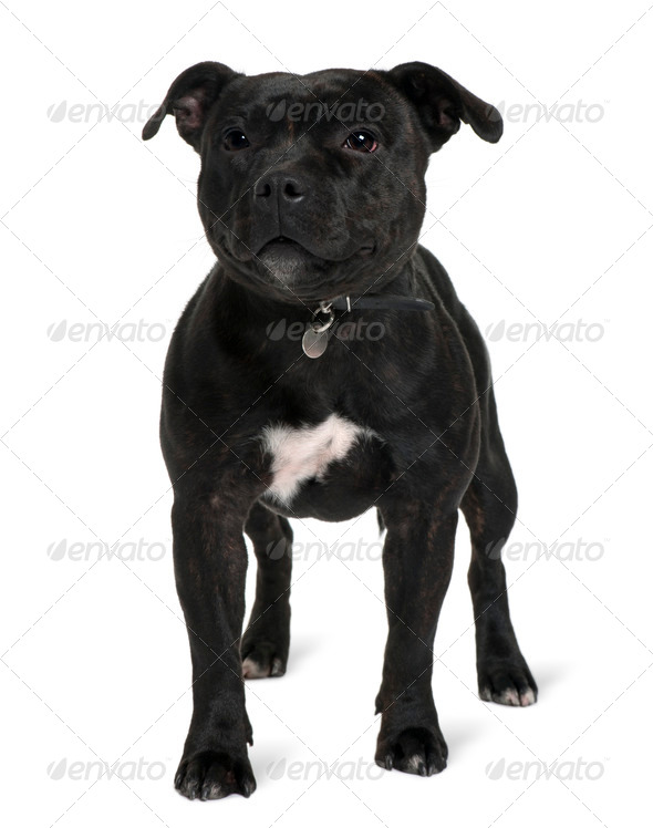 Staffordshire bull terrier, 13 months old, standing in front of white background - Stock Photo - Images