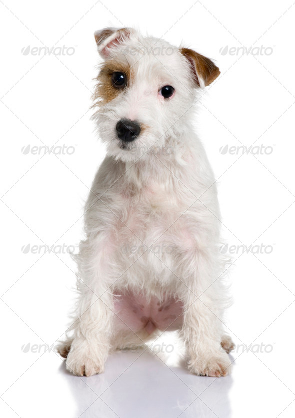 Parson Russell terrier puppy, 5 months old, sitting in front of white background - Stock Photo - Images