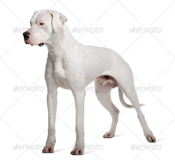 Argentine Dogo or Argentinean Mastiff dog, 1 year old, standing in front of white background - Stock Photo - Images