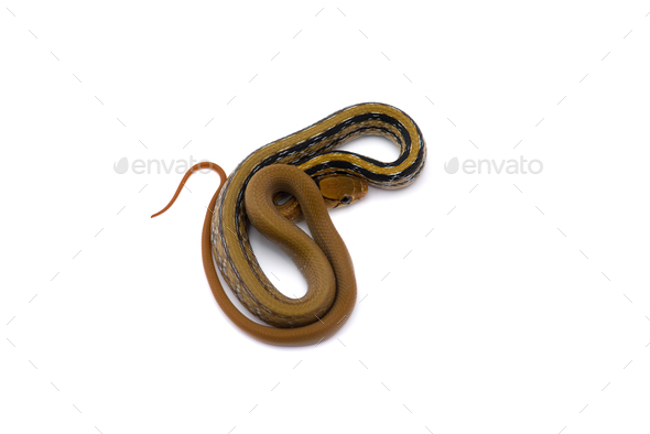 Copper-headed Trinket snake isolated on white background - Stock Photo - Images