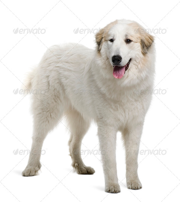 Pyrenean Mountain Dog or Great Pyrenees, 9 months old, standing in front of white background - Stock Photo - Images