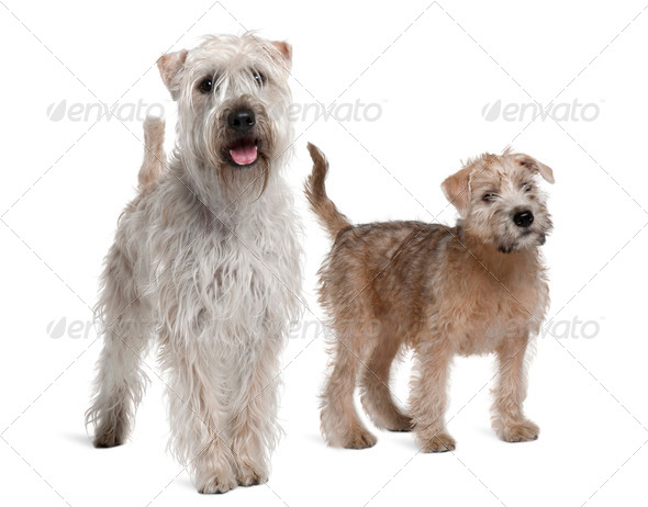 Two Soft-Coated Wheaten Terriers, 1 year old and 11 years old, standing in front of white background - Stock Photo - Images