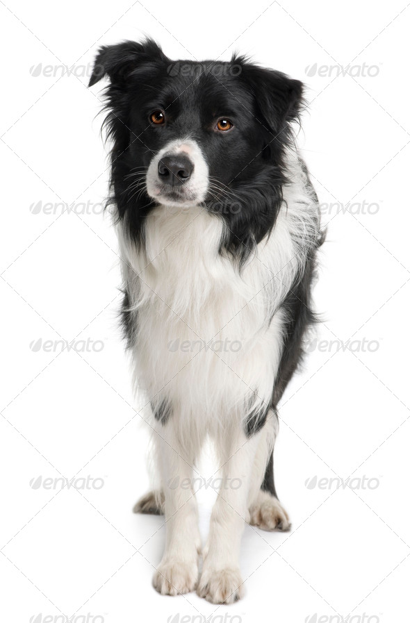 Border collie, 3 years old, standing in front of white background - Stock Photo - Images