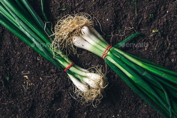 Spring onion or scallion on garden ground, top view - Stock Photo - Images