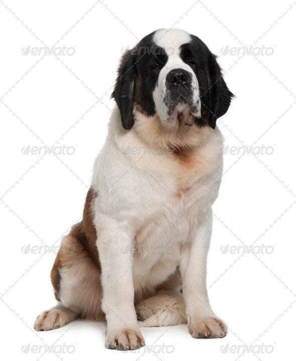 Saint Bernard, 15 months old, sitting in front of white background - Stock Photo - Images