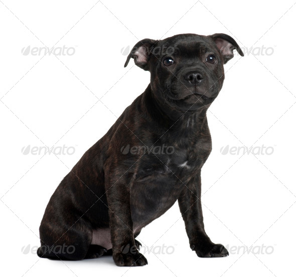 Staffordshire Bull Terrier puppy, 3 months old, sitting in front of white background - Stock Photo - Images
