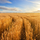 Road among golden ears of wheat in field under blue sky - PhotoDune Item for Sale