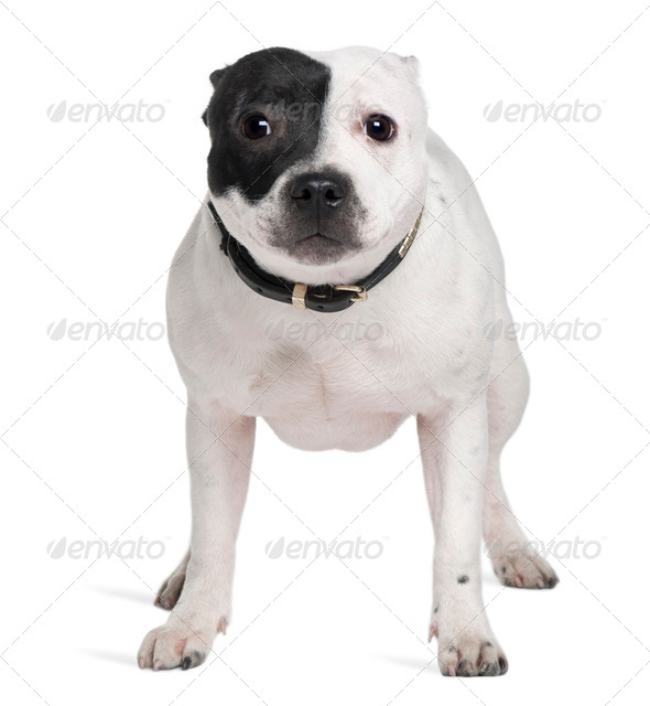 Staffordshire Bull Terrier, 7 months old, standing in front of white background - Stock Photo - Images