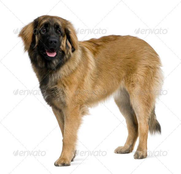 Leonberger dog, 8 months old, standing in front of white background - Stock Photo - Images