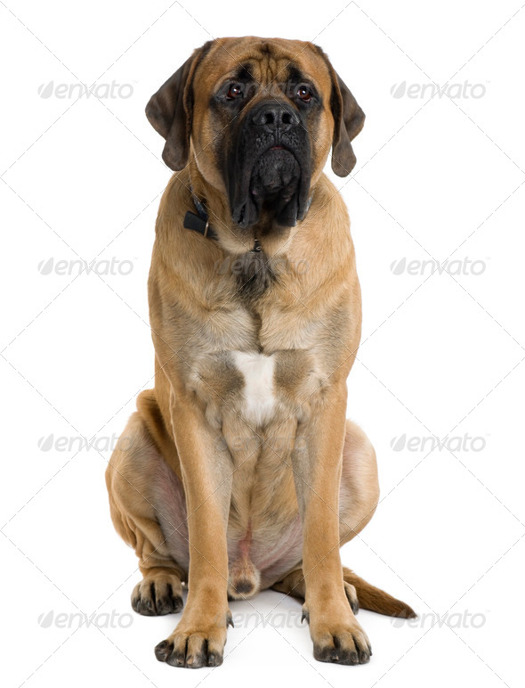 English Mastiff dog, 2 months old, sitting in front of white background - Stock Photo - Images