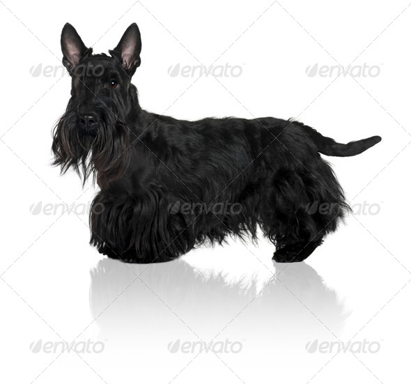 Schnauzer Terrier, 1 year old, standing in front of white background - Stock Photo - Images