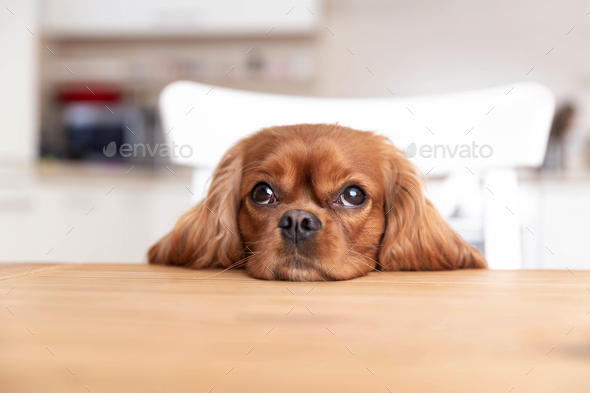 Cute dog behind the kitchen table - Stock Photo - Images