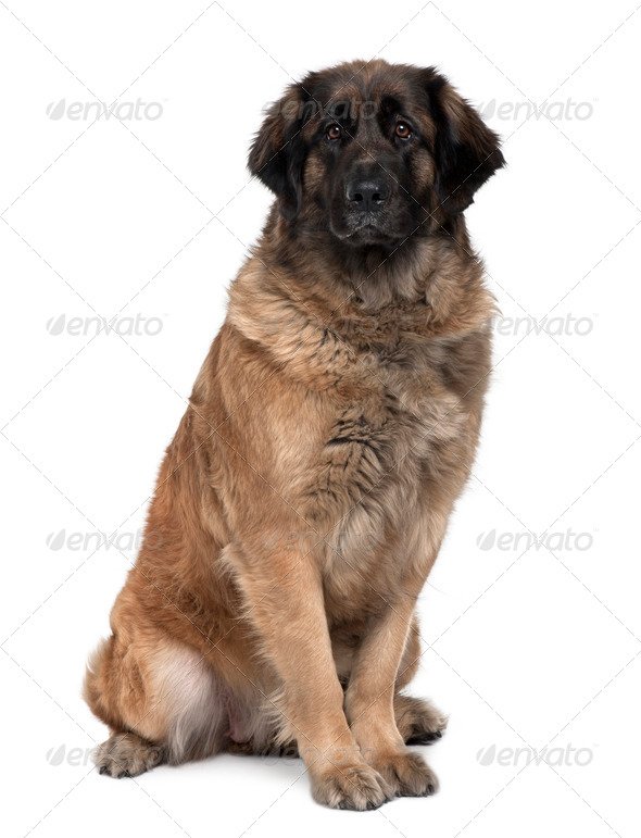 Leonberger dog, 2 years old, sitting in front of white background - Stock Photo - Images