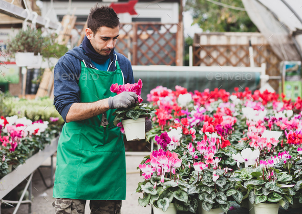 Young gardener planting Cyclamen flowers in greenhouse. - Stock Photo - Images