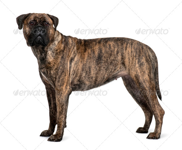 Bullmastiff dog, 1 year old, standing in front of white background - Stock Photo - Images