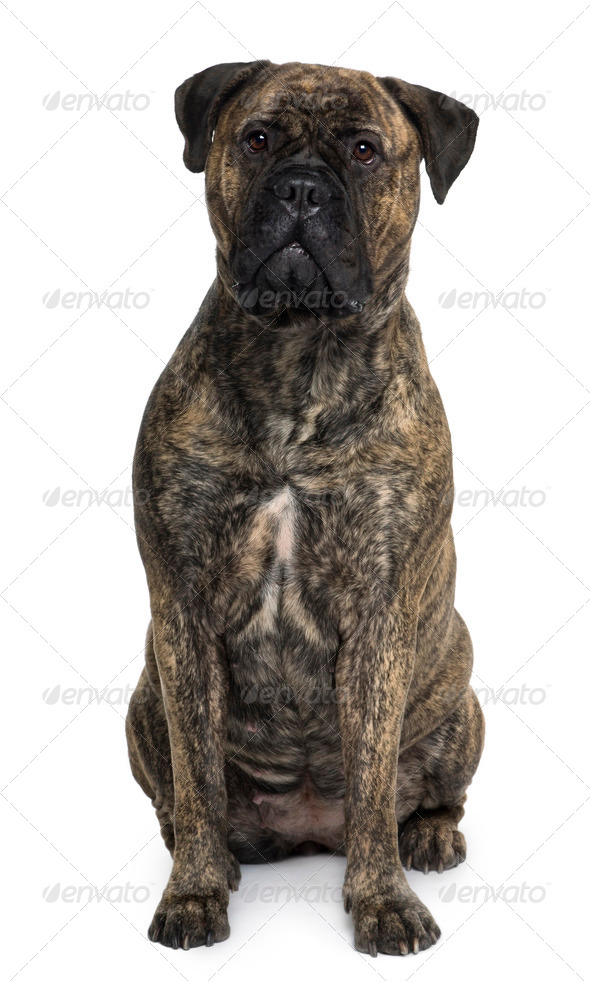 Bullmastiff dog, 18 months old, sitting in front of white background - Stock Photo - Images