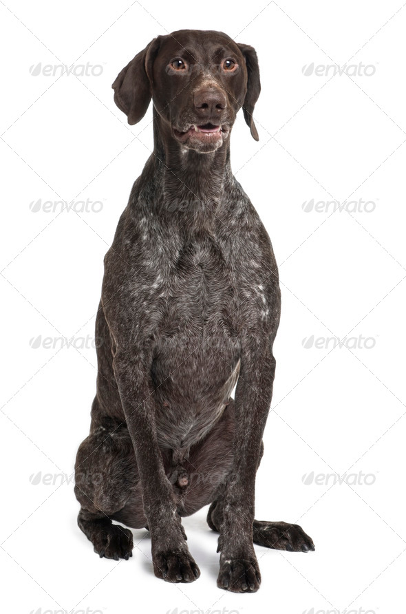 German Shorthaired Pointer dog, 5 years old, sitting in front of white background - Stock Photo - Images
