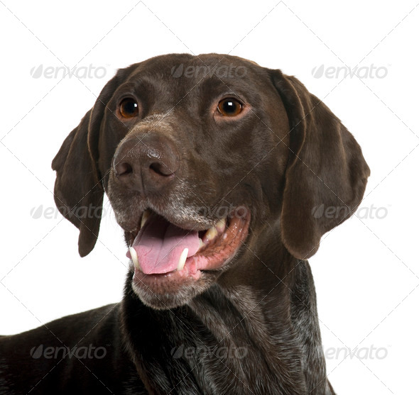 German Shorthaired Pointer dog, 5 years old, in front of white background - Stock Photo - Images