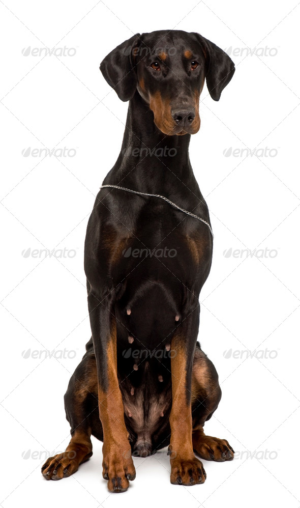 Fila Brasileiro, 1 year old, sitting in front of white background - Stock Photo - Images