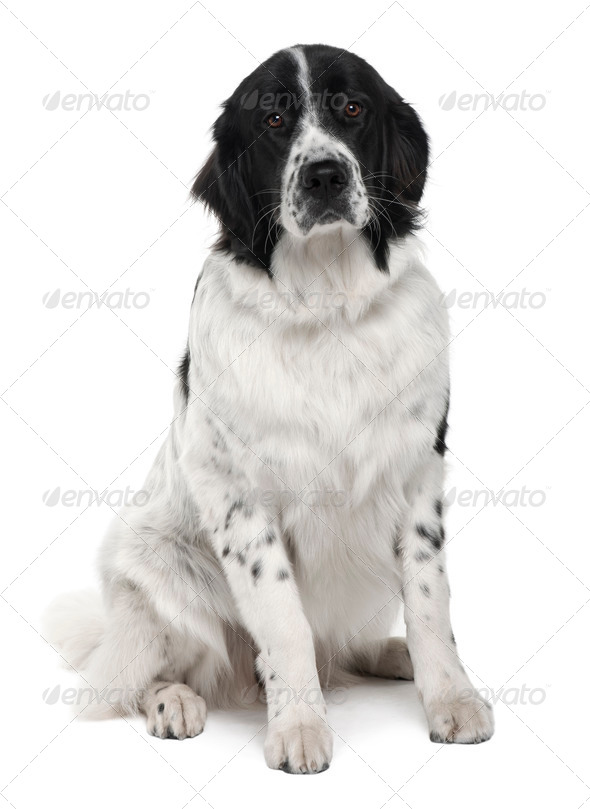 Landseer dog, 9 months old, sitting in front of white background - Stock Photo - Images