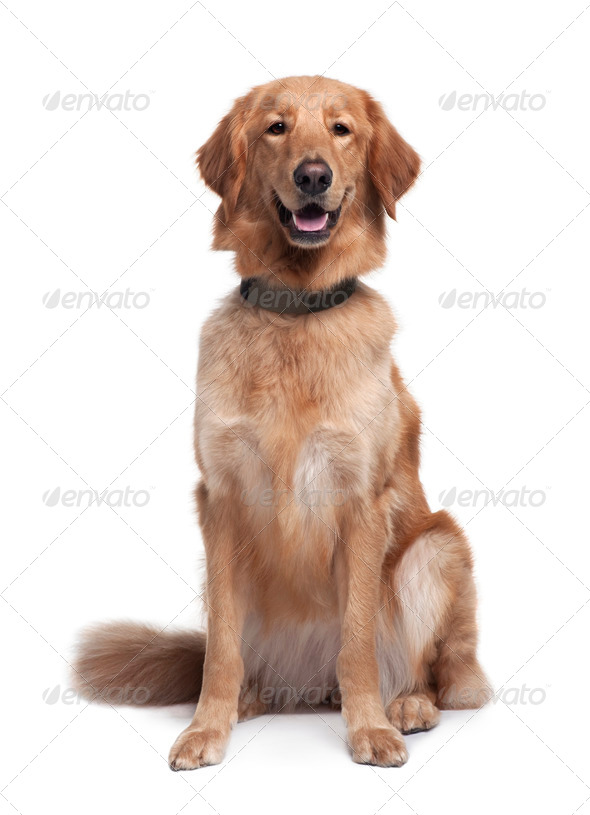 Hovawart dog, 1 year old, sitting in front of white background - Stock Photo - Images