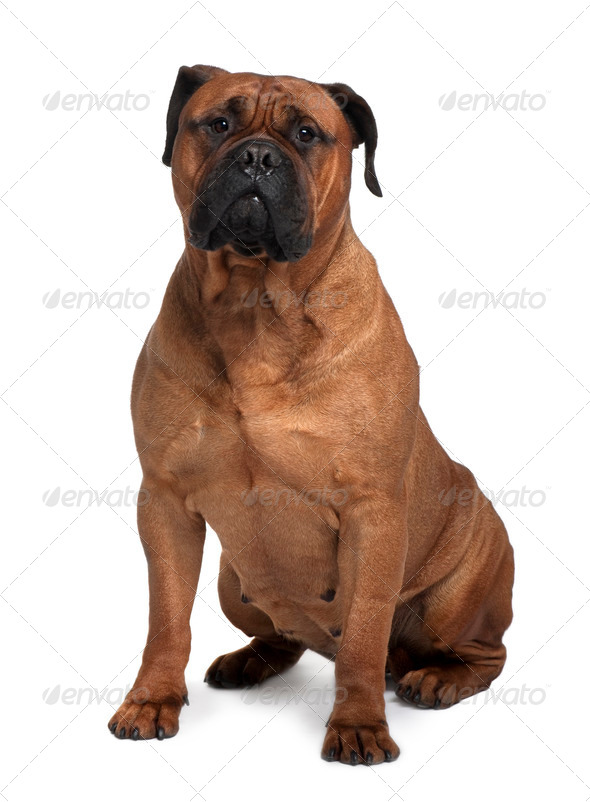 Bullmastiff dog, 4 years old, sitting in front of white background - Stock Photo - Images