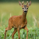 A solitary young roe deer buck standing on the grassland - PhotoDune Item for Sale