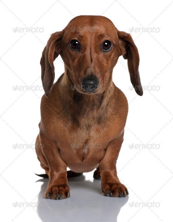 Daschund, 1 year old, sitting in front of white background - Stock Photo - Images