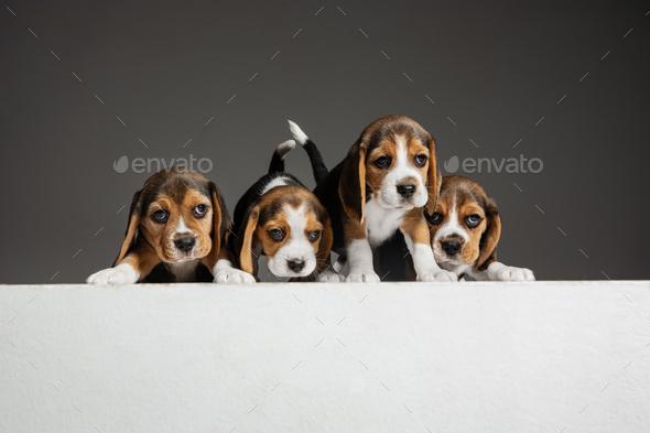 Studio shot of beagle puppies on grey studio background - Stock Photo - Images