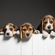 Studio shot of beagle puppies on grey studio background - PhotoDune Item for Sale