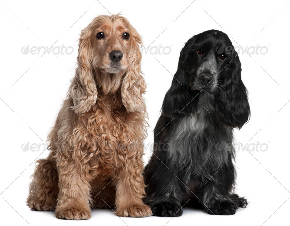 Two English Cocker Spaniels, 8 months and 1 year old, sitting in front of white background - Stock Photo - Images