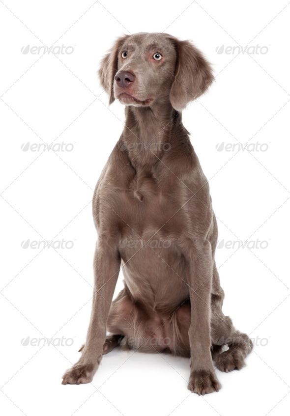 Long-haired Weimaraner dog, 2 years old, sitting in front of white background - Stock Photo - Images