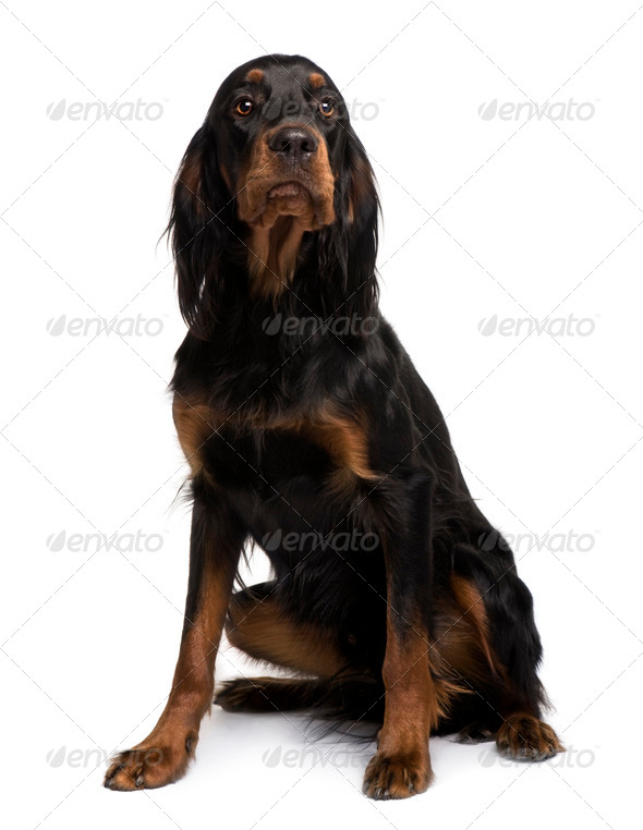 Gordon Setter dog, 16 months old, sitting in front of white background - Stock Photo - Images
