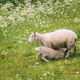 Norway. Domestic Mother Sheep Feeds Lambs With Breast Milk. Lambs Suck Sheep s Mother s Milk. Sheep - PhotoDune Item for Sale