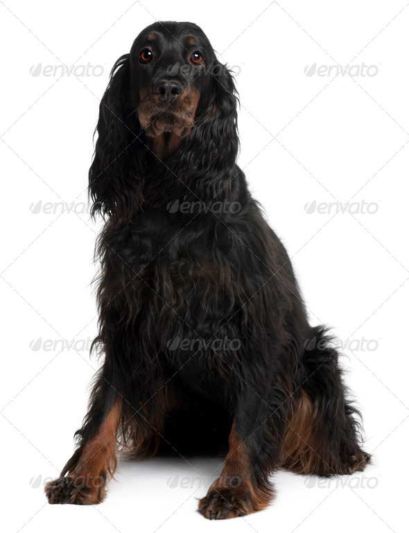 Gordon Setter dog, 7 years old, sitting in front of white background - Stock Photo - Images