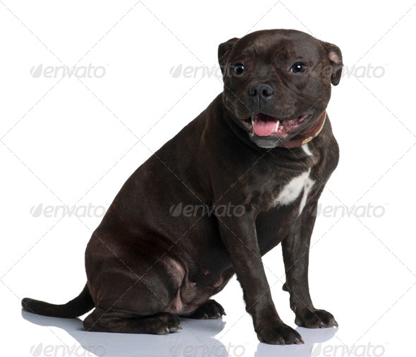 Staffordshire bull terrier, 9 months old, sitting in front of white background - Stock Photo - Images