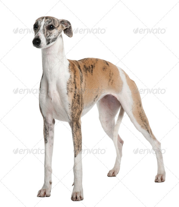 Young Whippet, 8 months old, standing in front of white background - Stock Photo - Images