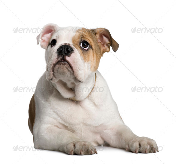 English Bulldog puppy, 3 months old, lying in front of white background - Stock Photo - Images