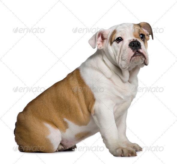English Bulldog puppy, 3 months old, sitting in front of white background - Stock Photo - Images
