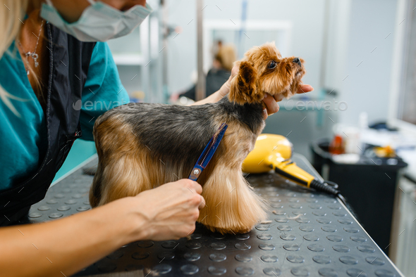 Female groomer with scissors cuts hair of cute dog - Stock Photo - Images