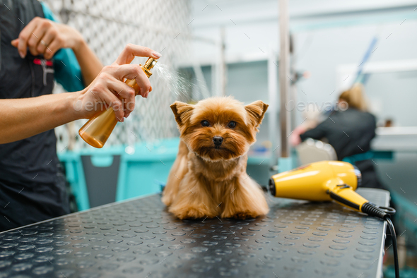 Female groomer spraying a cute dog with parfume - Stock Photo - Images