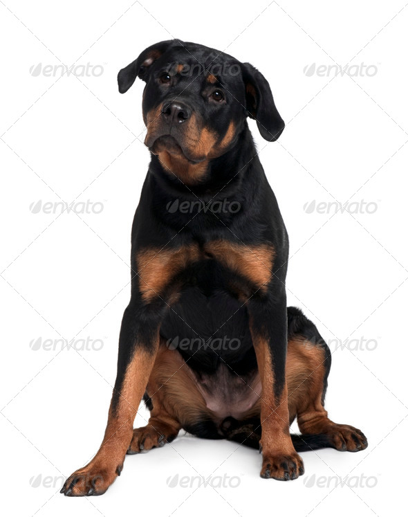 Doberman, 15 months old, sitting in front of white background - Stock Photo - Images