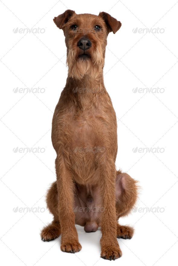 Irish Yerrier dog, 3 years old, sitting in front of white background - Stock Photo - Images