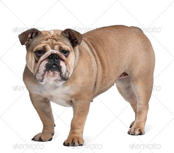 Bulldog, 17 months old, standing in front of white background - Stock Photo - Images