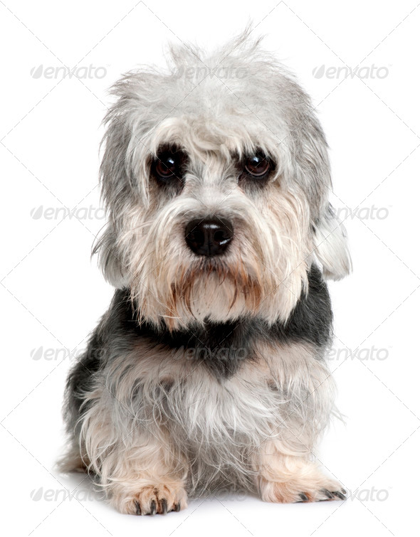 Dandie Dinmont Terrier, 2 years old, sitting in front of white background - Stock Photo - Images