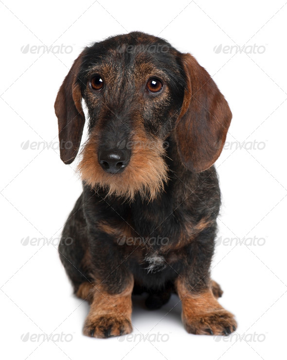 Dachshund, 9 months old, sitting in front of white background - Stock Photo - Images