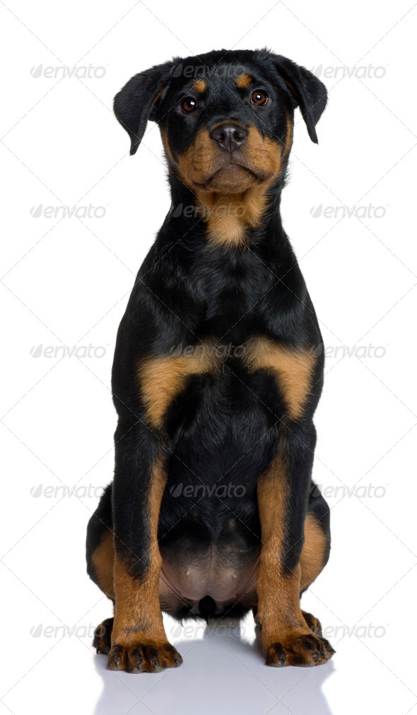 Rottweiler puppy, 3 months old, sitting in front of white background - Stock Photo - Images